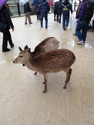 カメラを意識する鹿.jpg